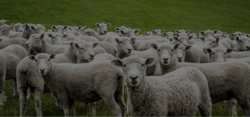Sheep Auctions